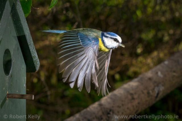 Blue tit (Cyanistes caeruleus) in flight