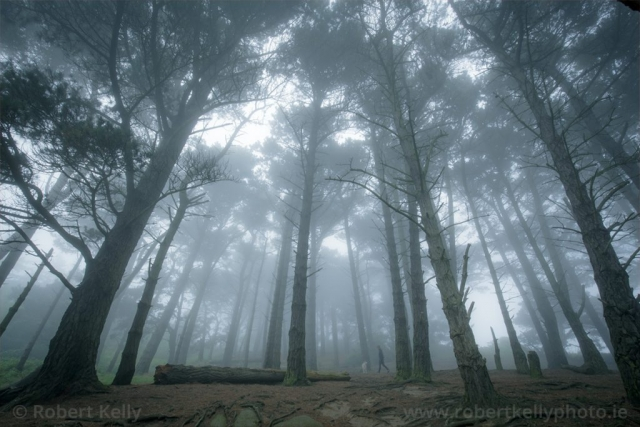 A dog walker in the mist amongst the pines on Dalkey Hill