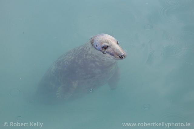 A Grey Seal (Halichoerus grypus) at Bulloch Harbour, Dalkey