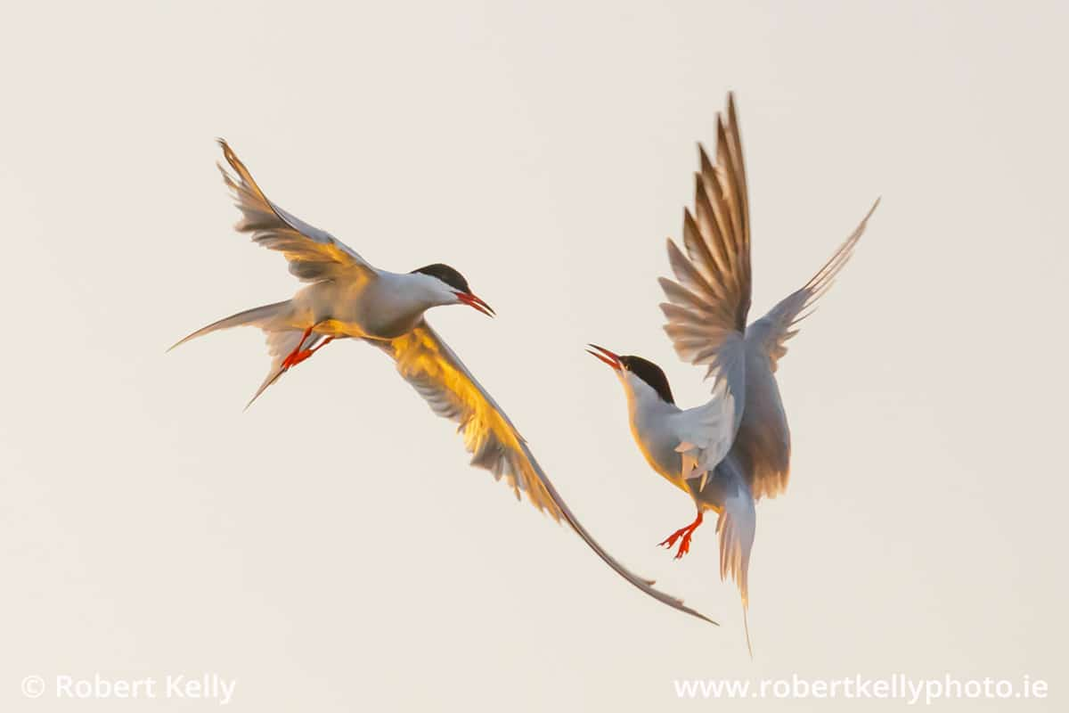 Common Terns (Sterna hirundo) in Dun Laoghaire Harbour