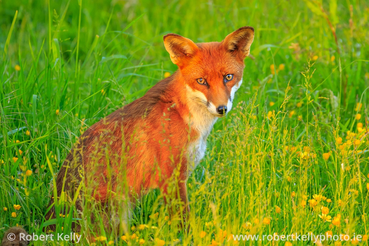 A Red Fox (Vulpes vulpes) amongst the buttercups at sunset