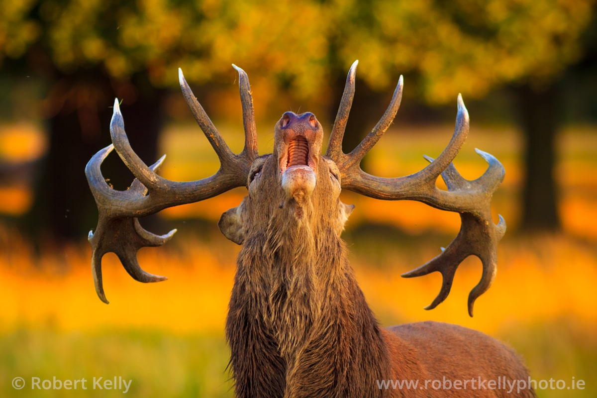A Red Deer Stag during the autumn rut