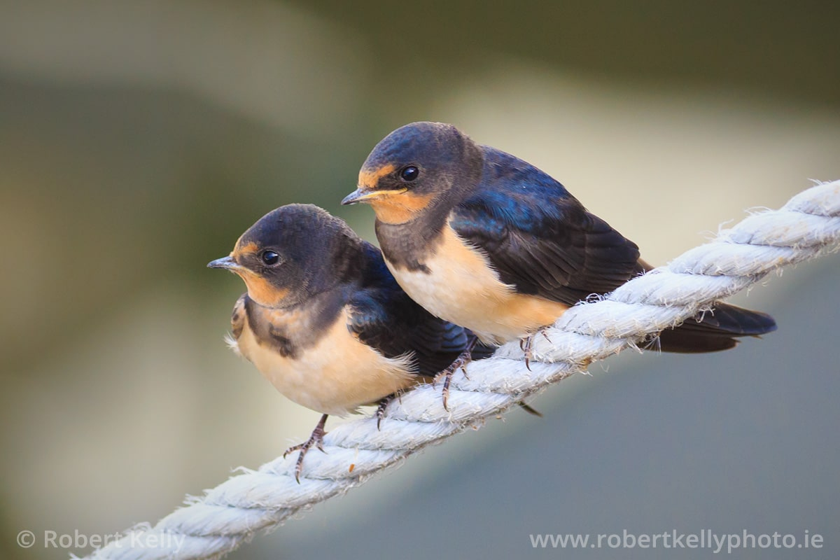 Two juvenile Swallows at Bulloch Harbour, Dalkey