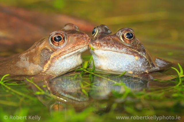 Two common frogs in a garden pond