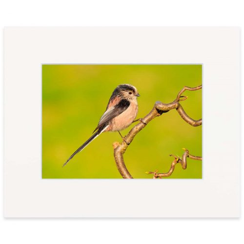 "Long-tailed tit 8""x10"" print"