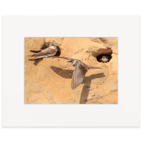 "Sand Martin 8""x10"" print"
