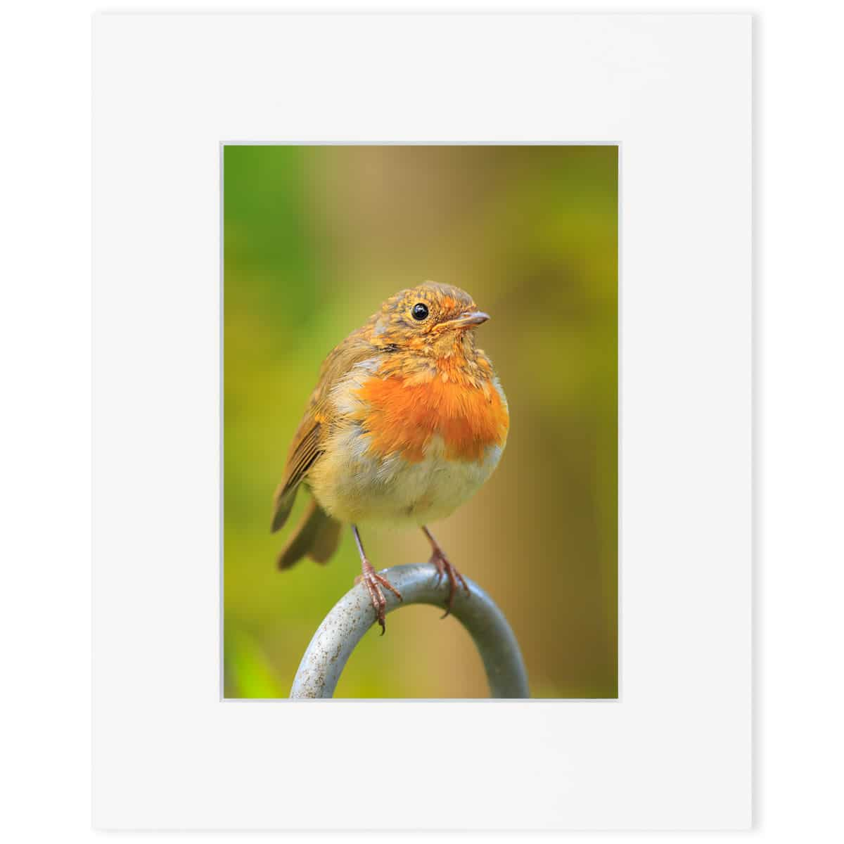 "A juvenile Robin 8"" x 10"" print"
