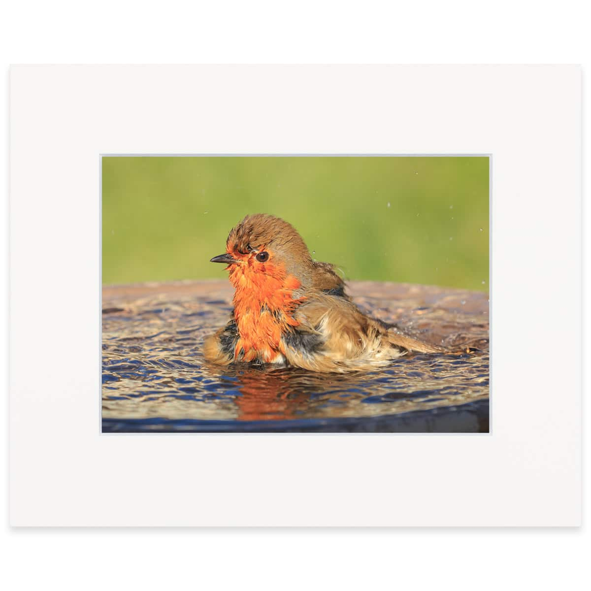 Robin bathing