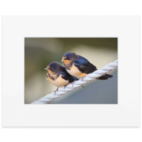 Young Swallows awaiting a feed