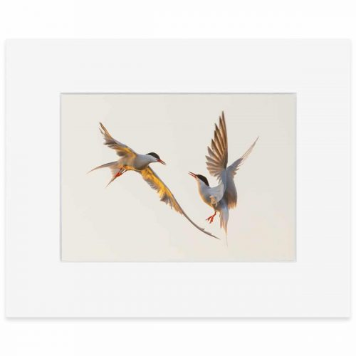 Common Terns print