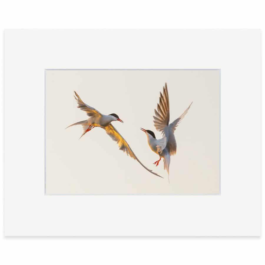 Common Terns print