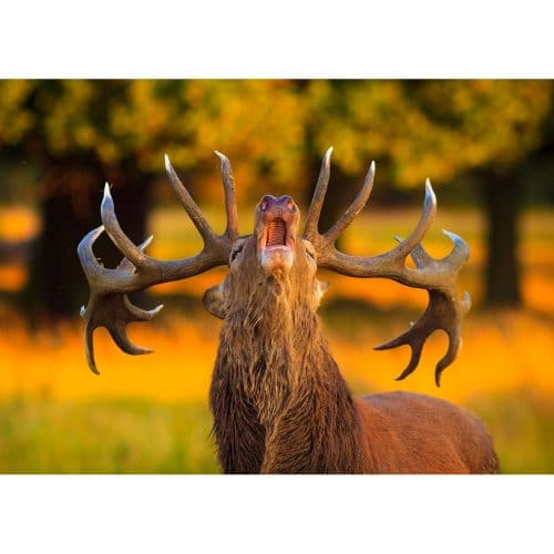 A Red Deer stag during the rut © Robert Kelly