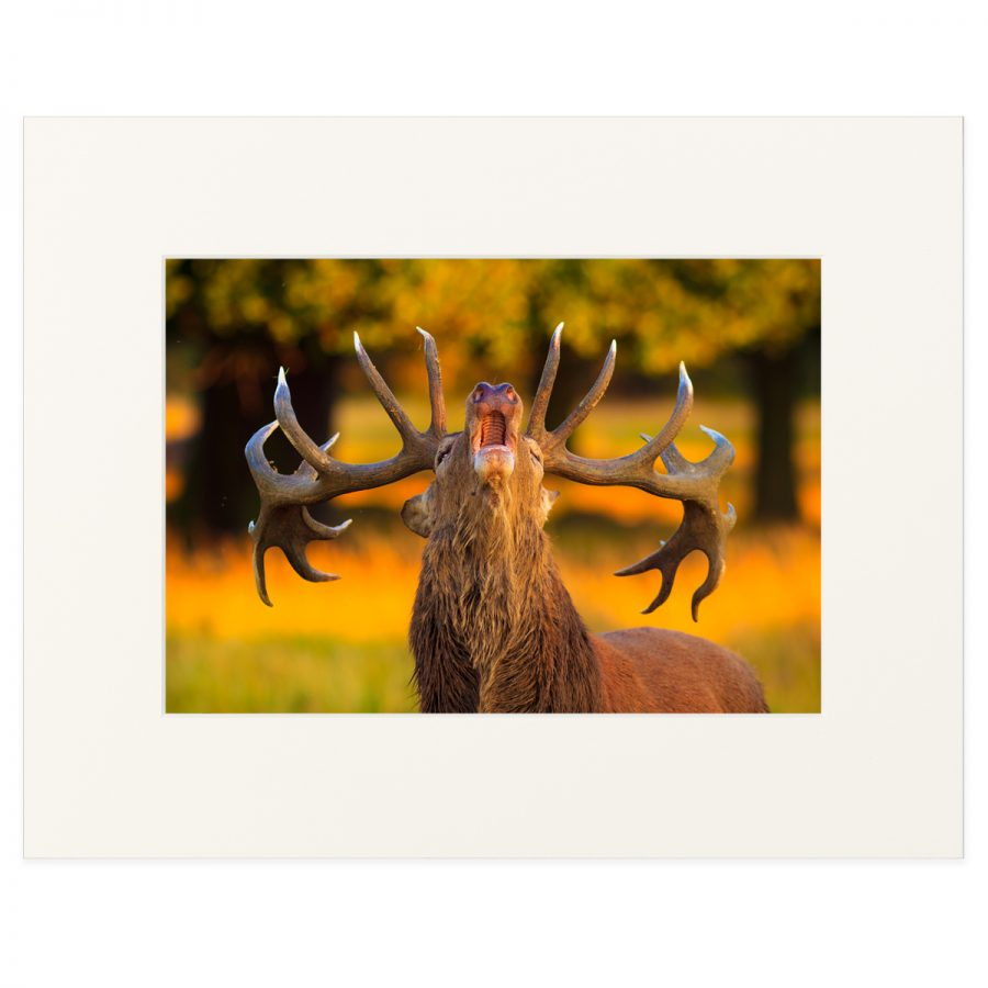 "Red deer stag during the rut. Fine art print 11"" x 14"""