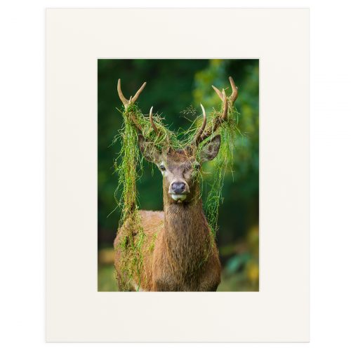 """A young Red Deer stag during the rut. Fine art print 11"""" x 14"""""""