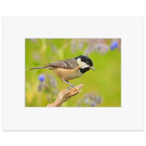 "Coal tit. Fine art print 8"" x 10"""