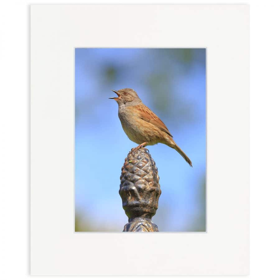 "Dunnock singing. Fine art print 8"" x 10"""