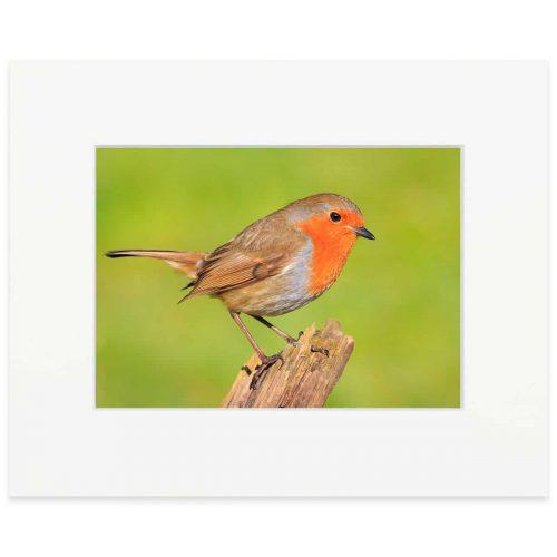 "European Robin. Fine art print 8"" x 10"""