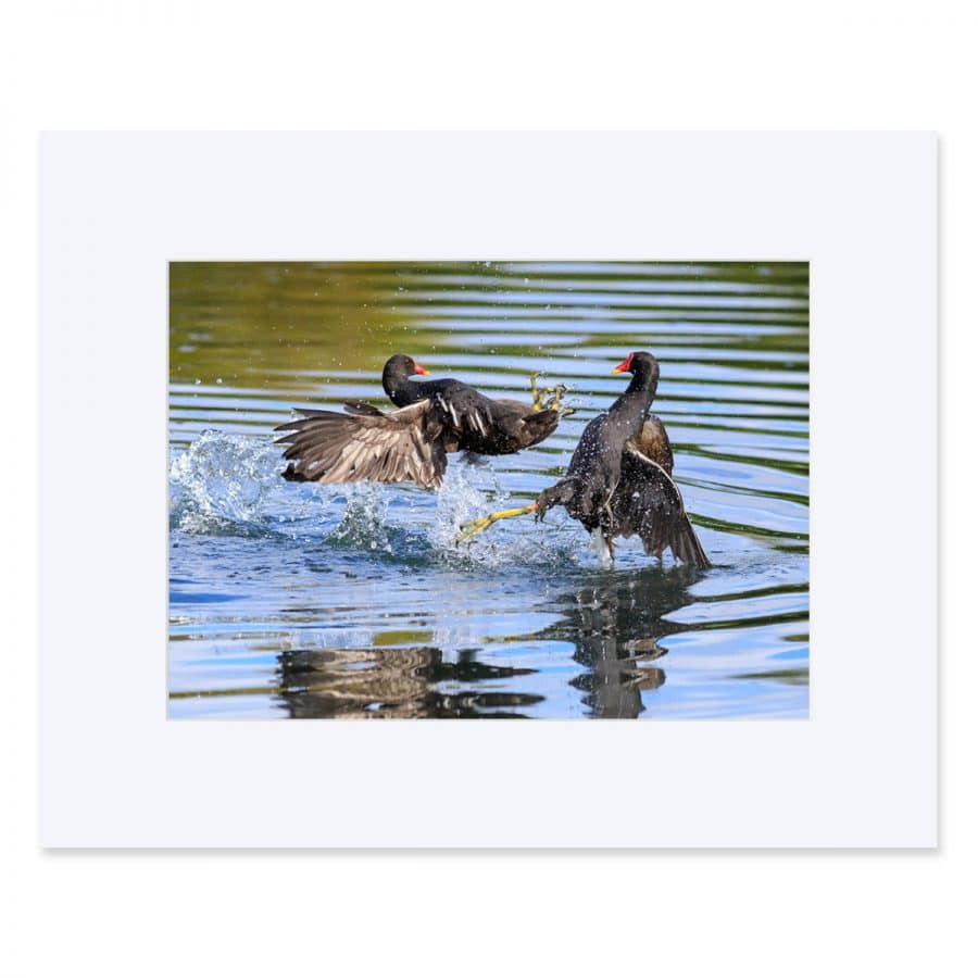 Two Moorhens fighting. Fine art print 11 x 14 inches