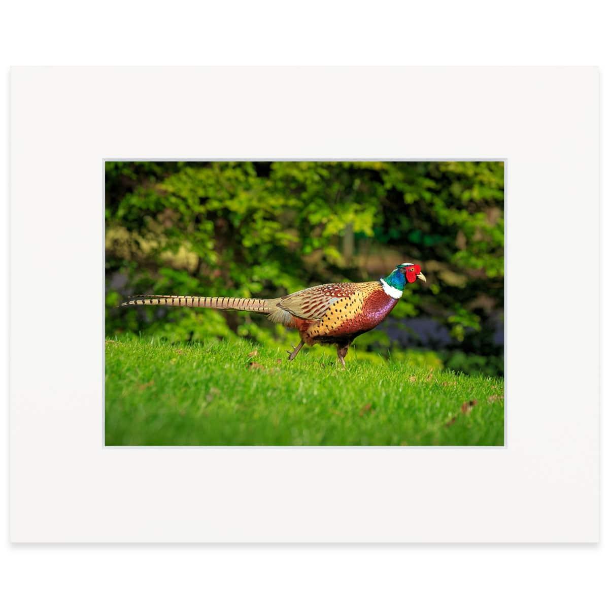 "Ring-necked Pheasant, finea art print 8"" x 10"""
