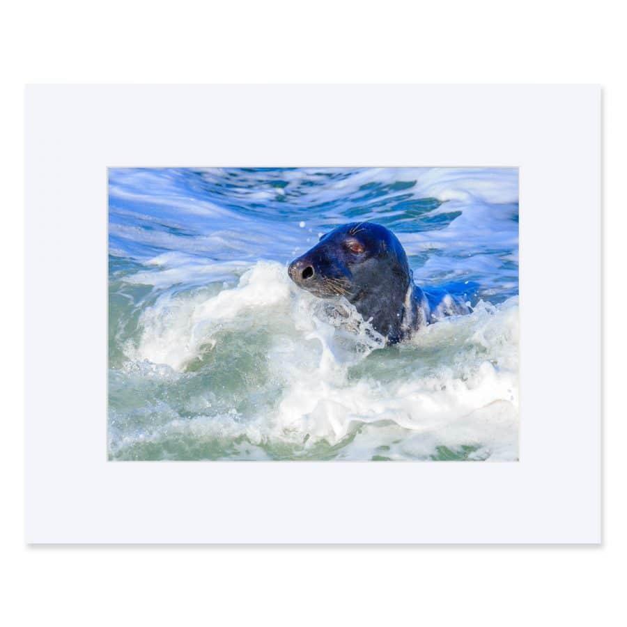 "Grey Seal in Bulloch Harbour, Dalkey. Fine print 11"" x 14"""