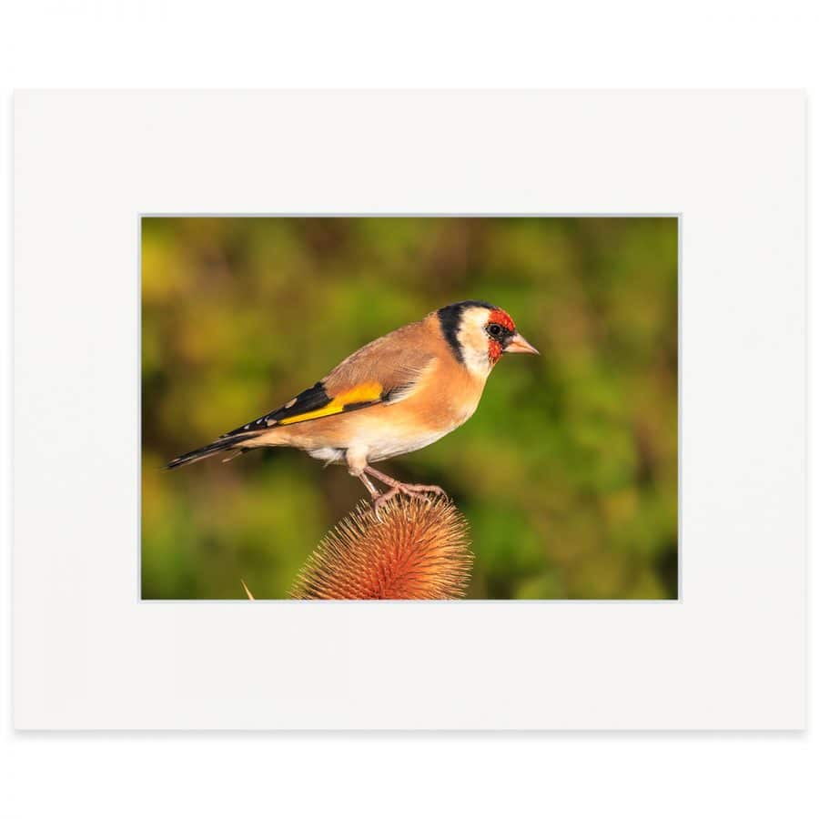 "Goldfinch on Teasel. Fine art print 8"" x 10"""