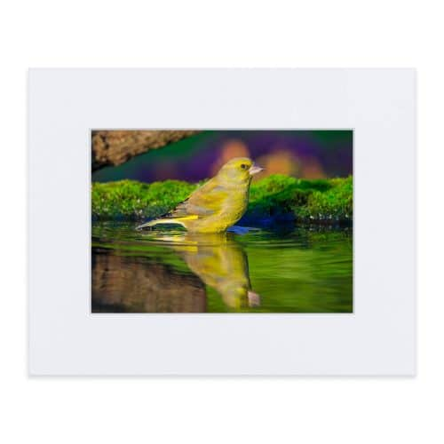 Print of Greenfinch 8 x 10 inches