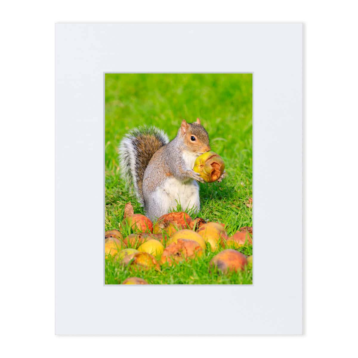 Grey Squirrel eating apples. Mounted print 8 x 10 inches