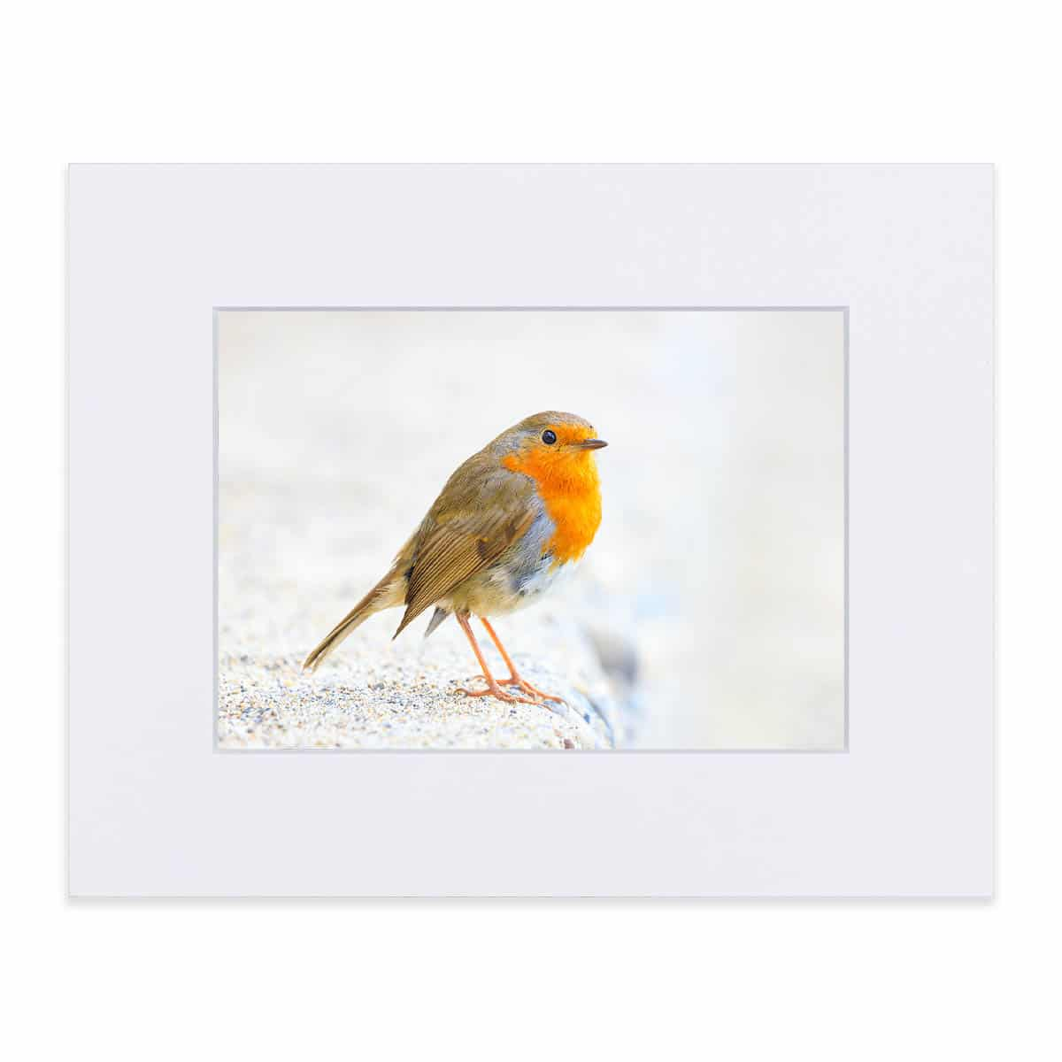 Mounted print of a Robin 8 x 10 inches