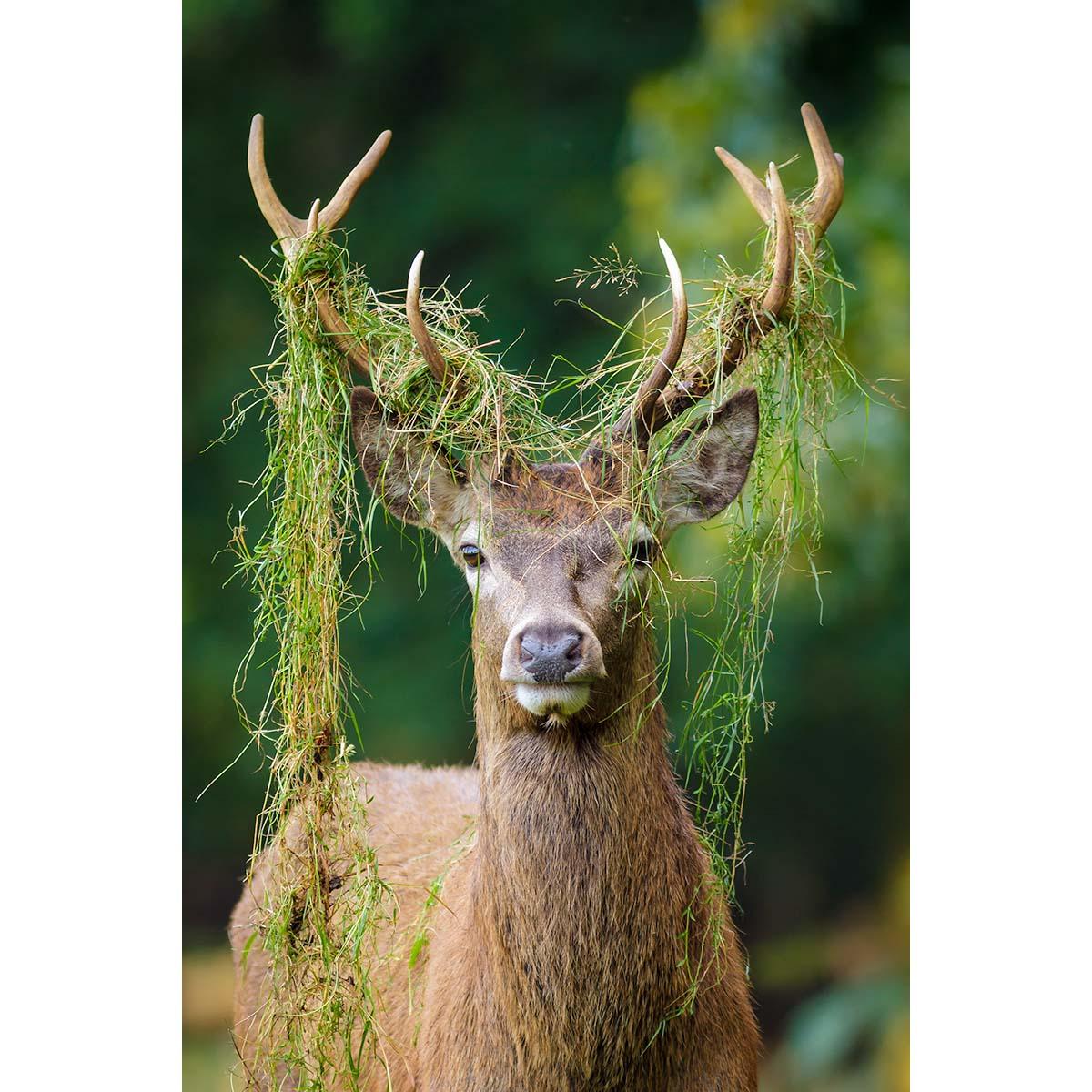 Red Deer Stag © Robert Kelly